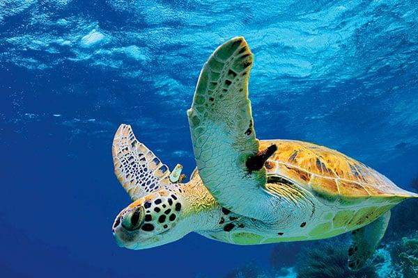ymt-blog-Sea-Turtle