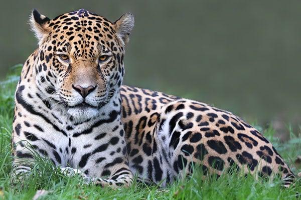 ymt-blog-costa-rica-rainforest-travel-guide-jaguar
