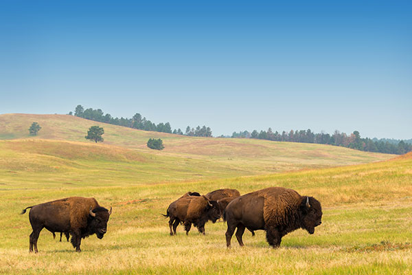 ymt-blog-national-parks-with-the-best-wildlife-viewing-bison