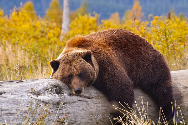 ymt-blog-national-parks-with-the-best-wildlife-viewing-grizzly-bear