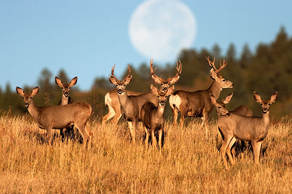 ymt-blog-national-parks-with-the-best-wildlife-viewing-mule-deer