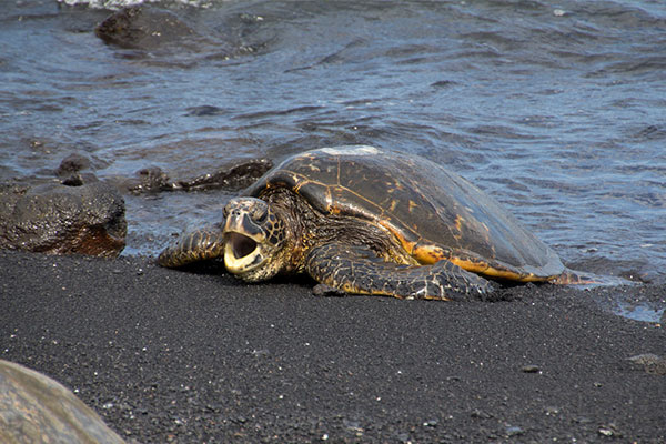 Black-Sand-Beach-Turtle-Hawaii