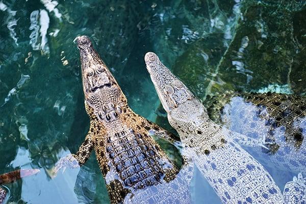 600x400-Crocodiles