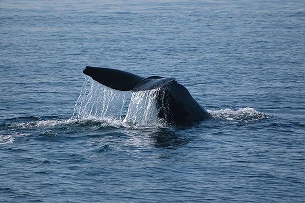 Sperm-whale-iceland