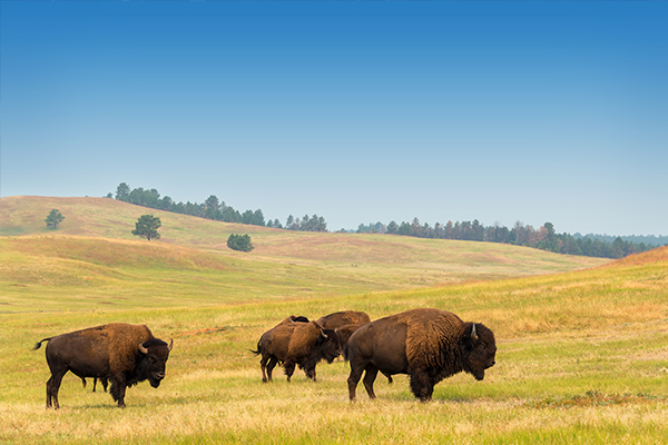 600x400-bison-optional-tour
