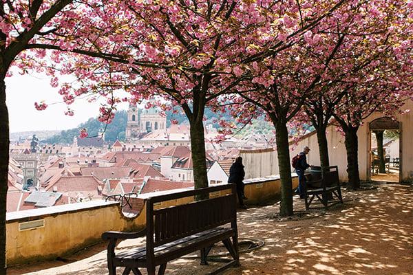 600x400-czech-republic-cherry-blossom-sakura