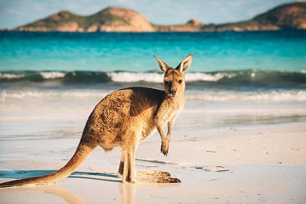 600x400-kangaroo