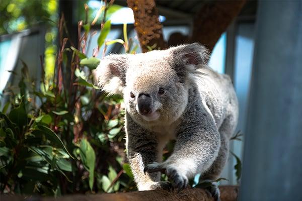 600x400-koala