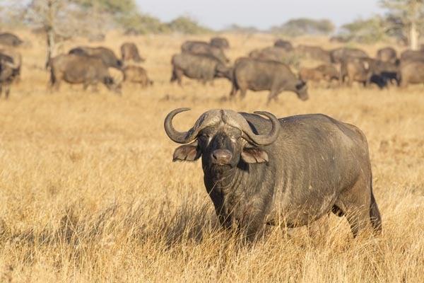 Cape-Buffalo-African-Buffalo-South-Africa