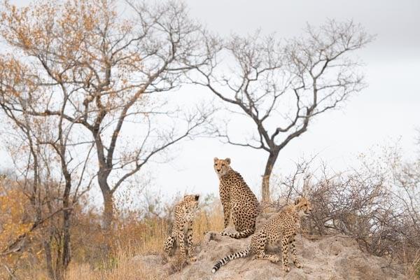 Cheetah-South Africa