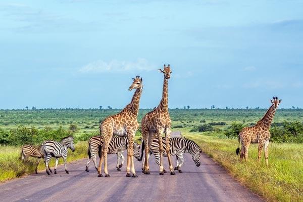 Giraffe-South-Africa