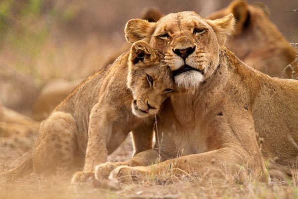Lions-South-Africa