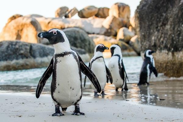 Penguins-Boulder-Beach-South-Africa