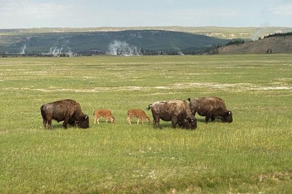 Rocky Mountains and Black Hills Tour Buffalo