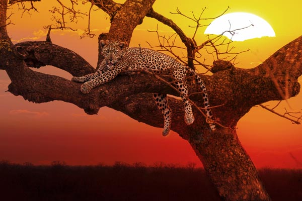 leopard-South-Africa