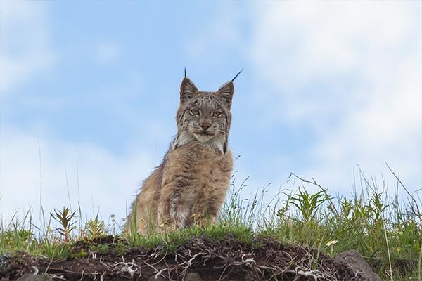 ymt-vacations-alaska-lynx