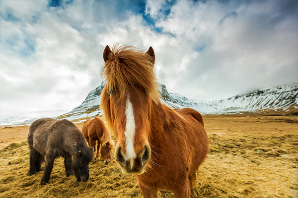ymt-vacations-icelandic-animals